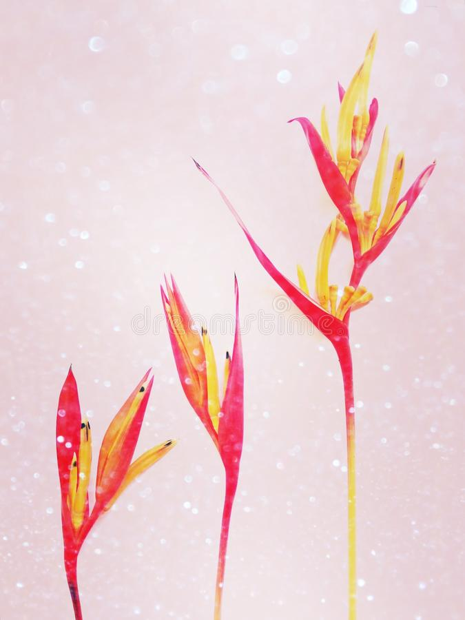 Heliconia flowers on bright background. royalty free stock images