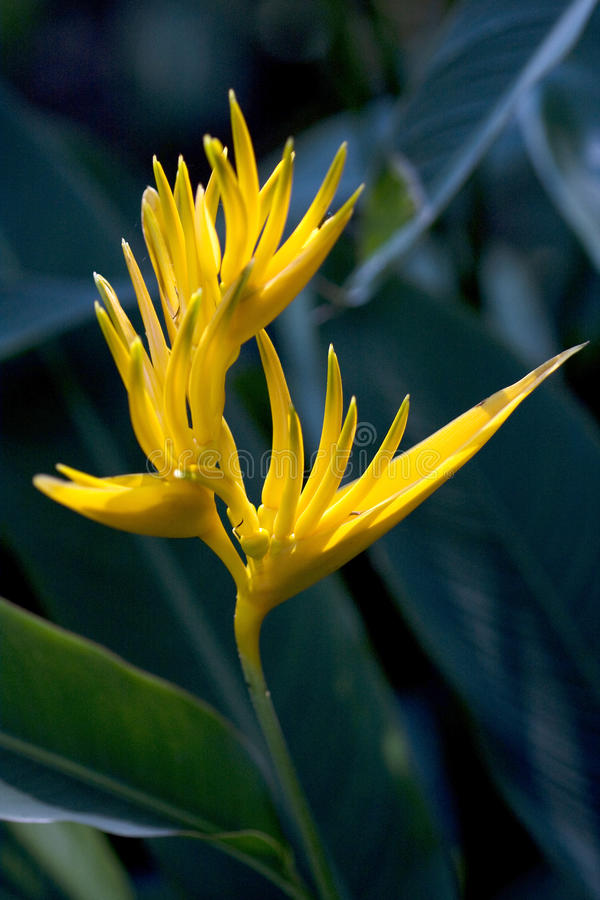 Download Heliconia Golden Torch stock photo. Image of gardens - 12585980