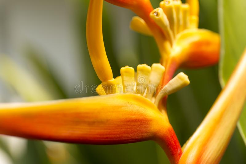 Heliconia macro blur background. Close up defocused flower. Heliconia macro blur background. Close up defocused flower stock images