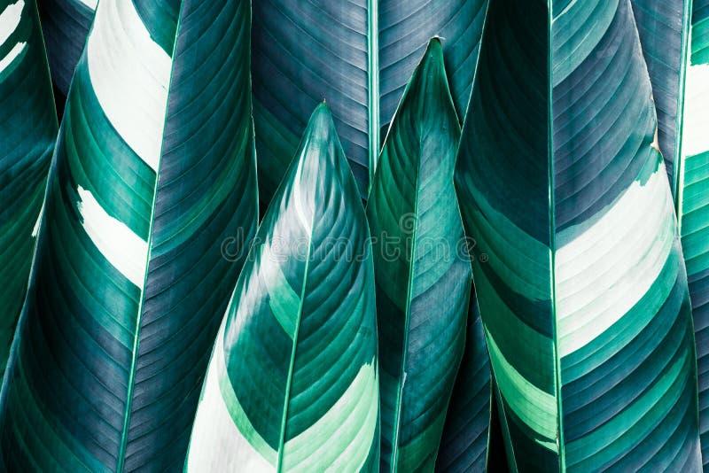 Heliconia nyanserade lövverk, exotisk tropisk bladtextur som var mörk - grön lövverknaturbakgrund fotografering för bildbyråer
