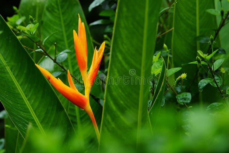 HELICONIA PSITTACORUM of de gele paradijsvogel bloem en wat water dalen in tropische gebieds groene tuin na regenachtergrond stock afbeeldingen