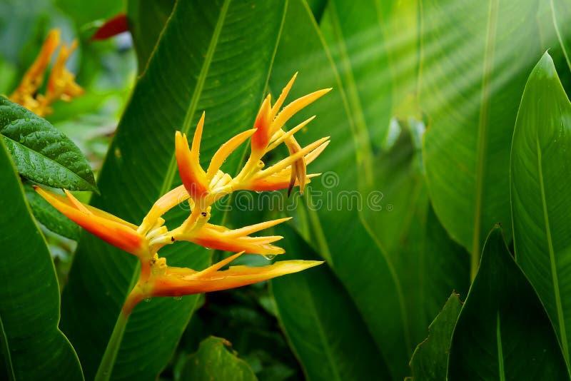 HELICONIA PSITTACORUM of de gele paradijsvogel bloem en wat water dalen in tropische gebieds groene tuin na regenachtergrond royalty-vrije stock fotografie