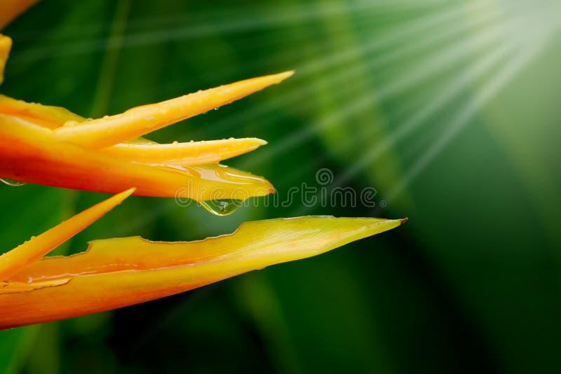 HELICONIA PSITTACORUM of de gele paradijsvogel bloem en wat water dalen in tropische gebieds groene tuin na regenachtergrond royalty-vrije stock afbeeldingen