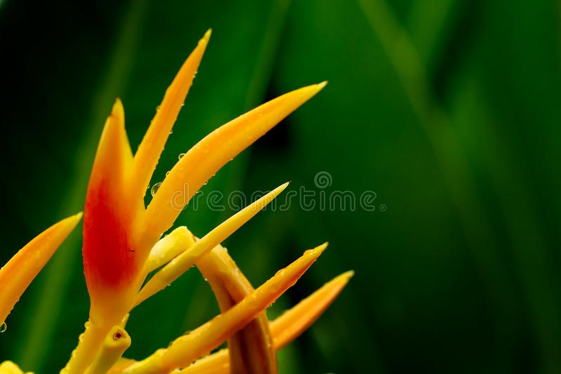 HELICONIA PSITTACORUM of de gele paradijsvogel bloem en wat water dalen in tropische gebieds groene tuin na regenachtergrond stock fotografie