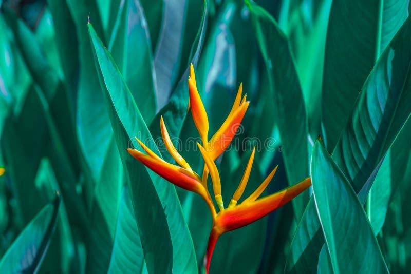 Heliconia-psittacorum oder Heliconia goldene Fackel oder falscher Paradiesvogel Blume Exotische tropische Blumen im Dschungelgart stockfotografie