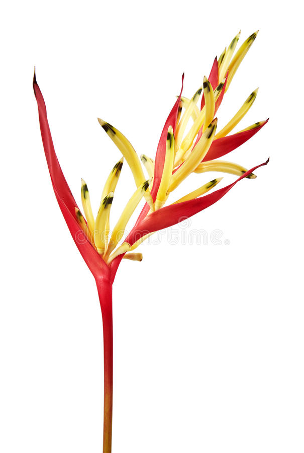 Heliconia psittacorum Parrot`s Beak `Lady Di` flowers, Tropical flowers isolated on white background stock photos