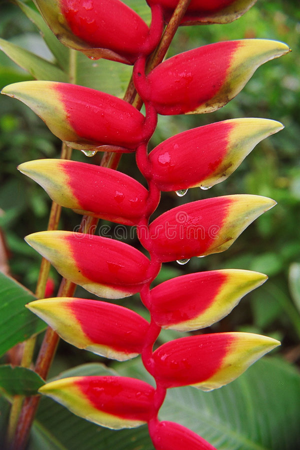 Download Heliconia with Rain Drops stock photo. Image of macro, flora - 4872