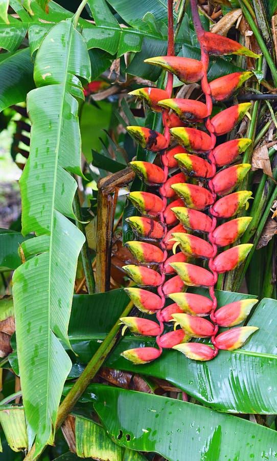 Heliconia Rostrata -龙虾爪红色黄色花-喀拉拉,印度 免版税库存照片