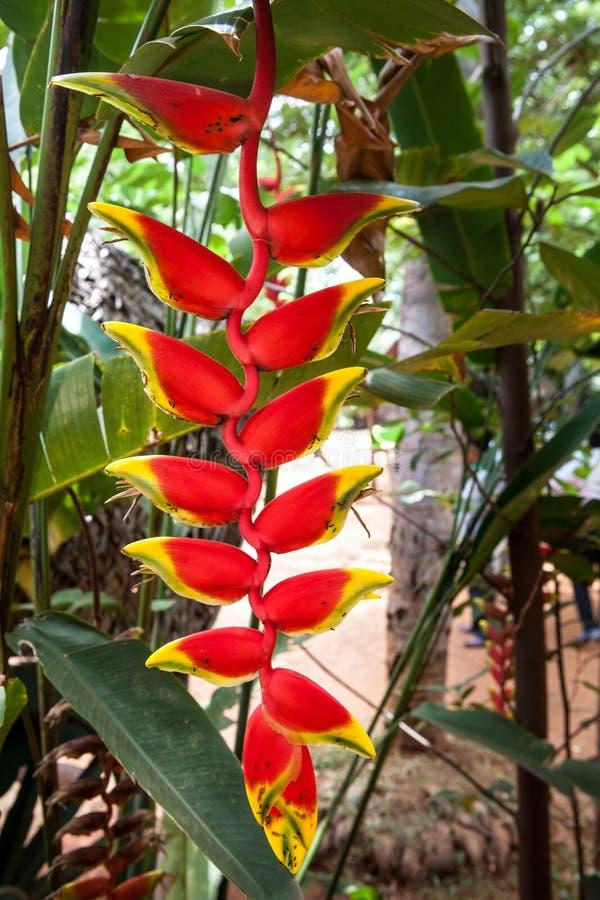 Heliconia Rostrata lizenzfreies stockbild