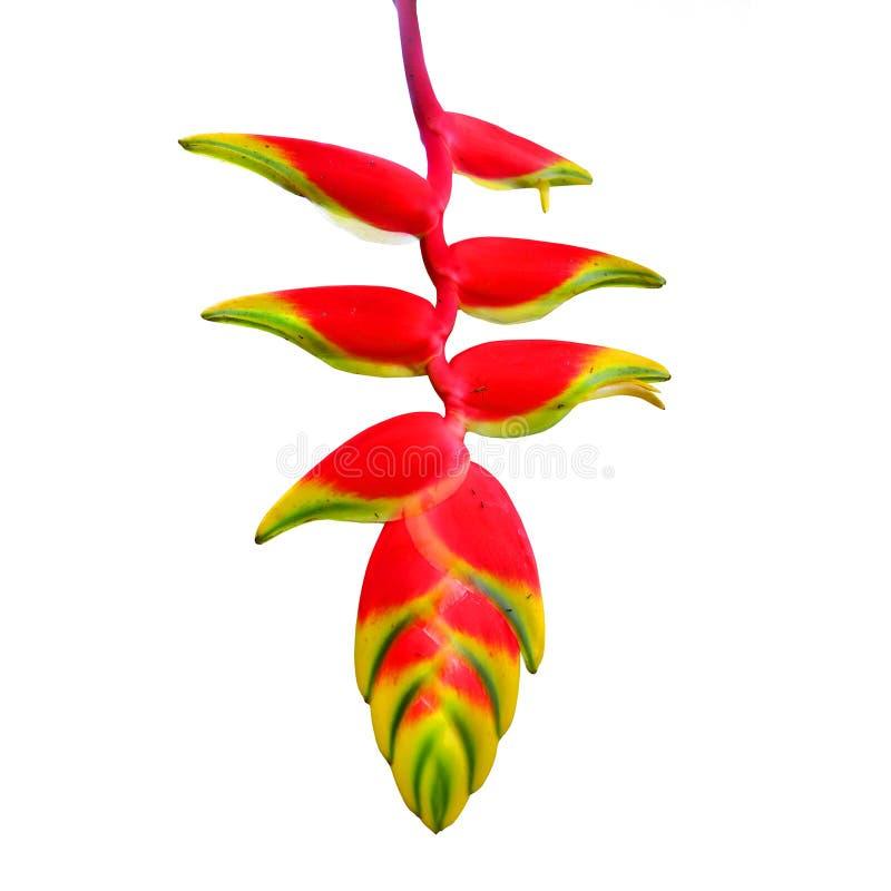 Heliconia Rostrata стоковое фото
