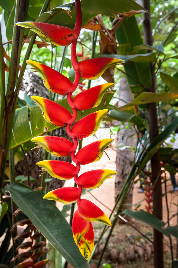 Heliconia rostrata royalty free stock image