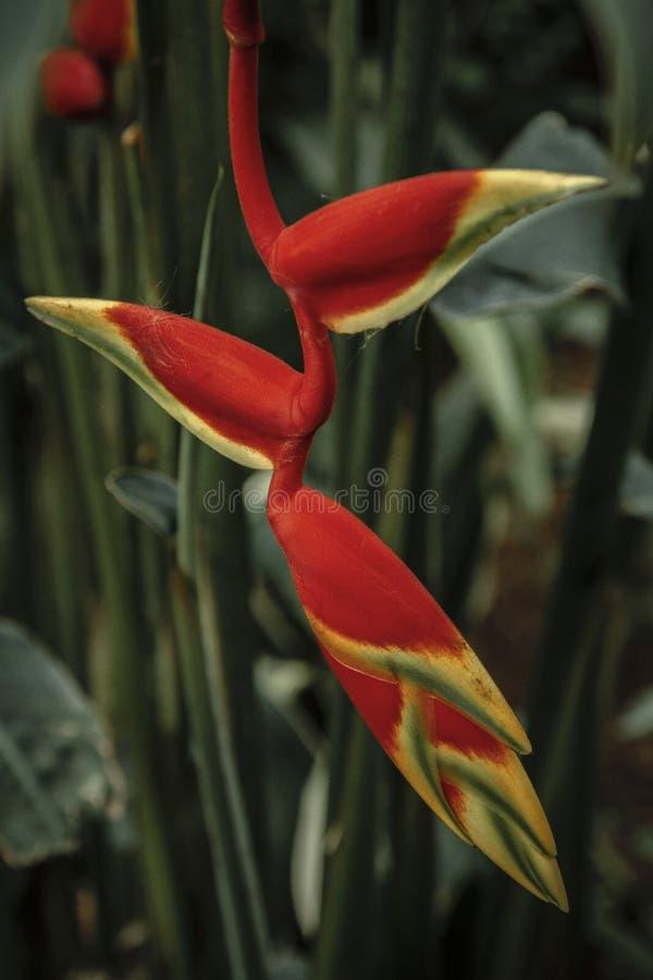 Heliconia-rostrata, Hummergreifer stockfotos