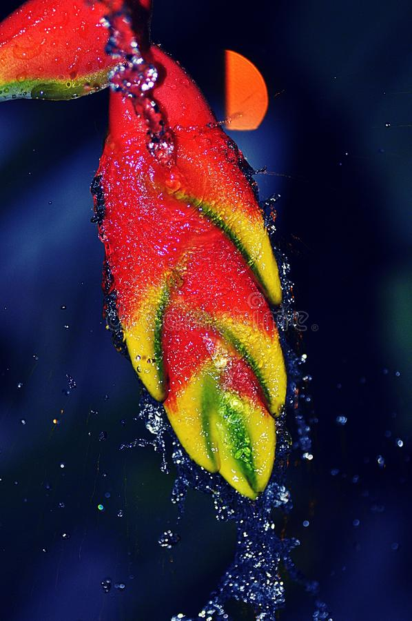 Heliconia Rostrata splashed with water. Tamron macro Len. This heliconia flower was splashed with water and photo taken with flash royalty free stock photography