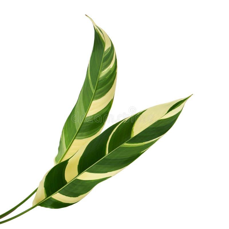 Heliconia varió el follaje, hoja tropical exótica aislada en el fondo blanco, con la trayectoria de recortes fotografía de archivo libre de regalías