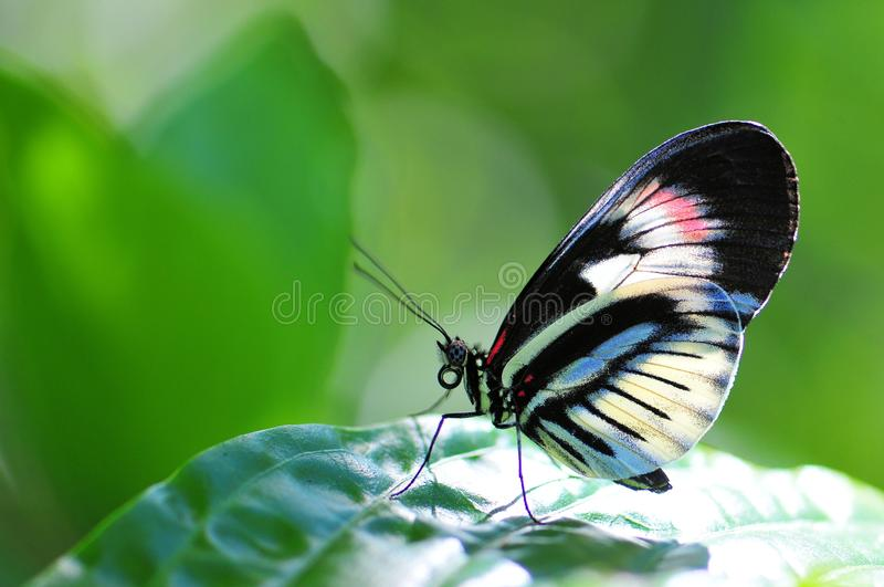 Heliconian, βασική πεταλούδα πιάνων στοκ φωτογραφίες