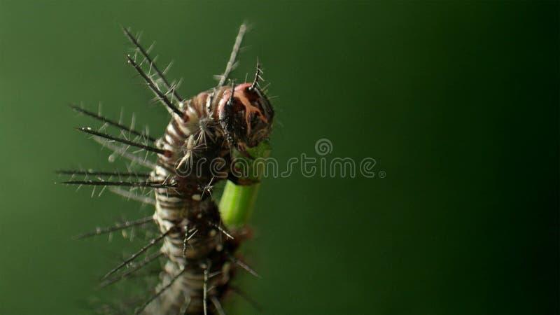 Heliconid蝴蝶毛虫吃激情花叶子 库存图片