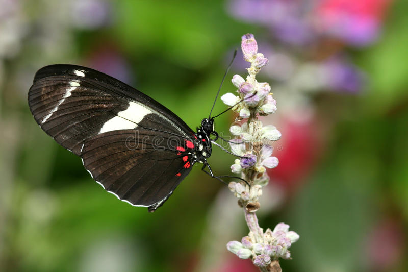 Heliconius atthis Butterfly. Macro of the Heliconius atthis butterfly on pink flower royalty free stock photos