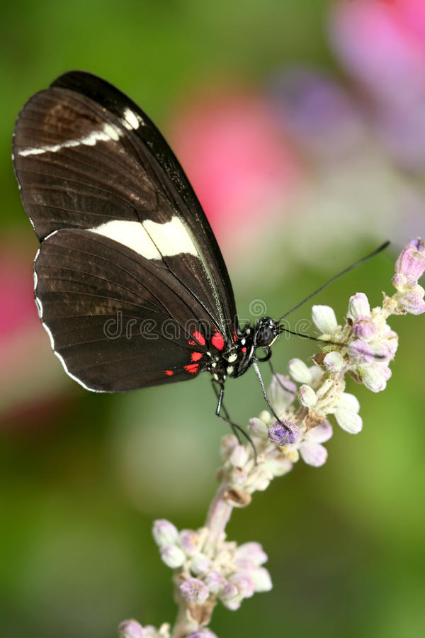 Heliconius atthis Butterfly. Macro of the Heliconius atthis butterfly on pink flower stock photo