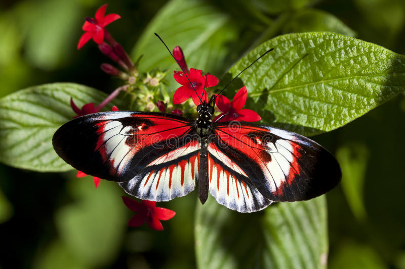 Heliconius butterfly Piano key royalty free stock images