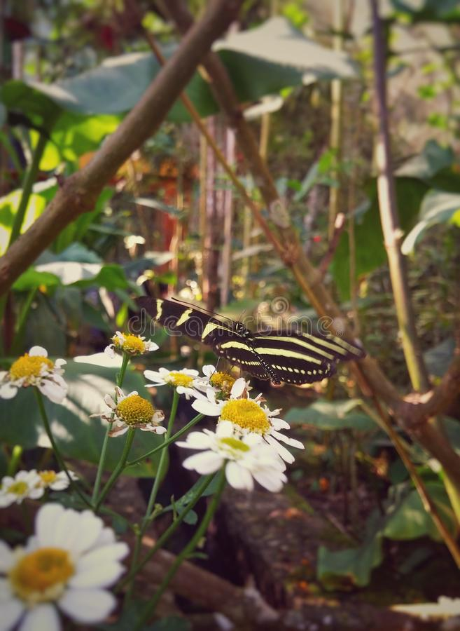 Heliconius, zebra longwing, perched on daisies in a tropical forest stock photography