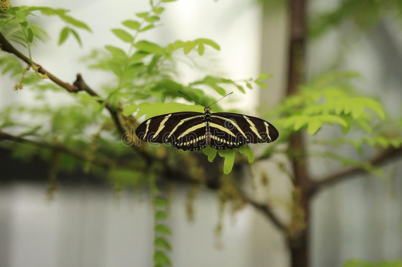 Heliconius charithonia, Zebra longwing butterfly perched on green leaves with open wings stock photography