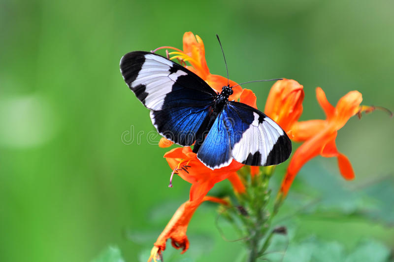 Heliconius Cydno Butterfly royalty free stock photos