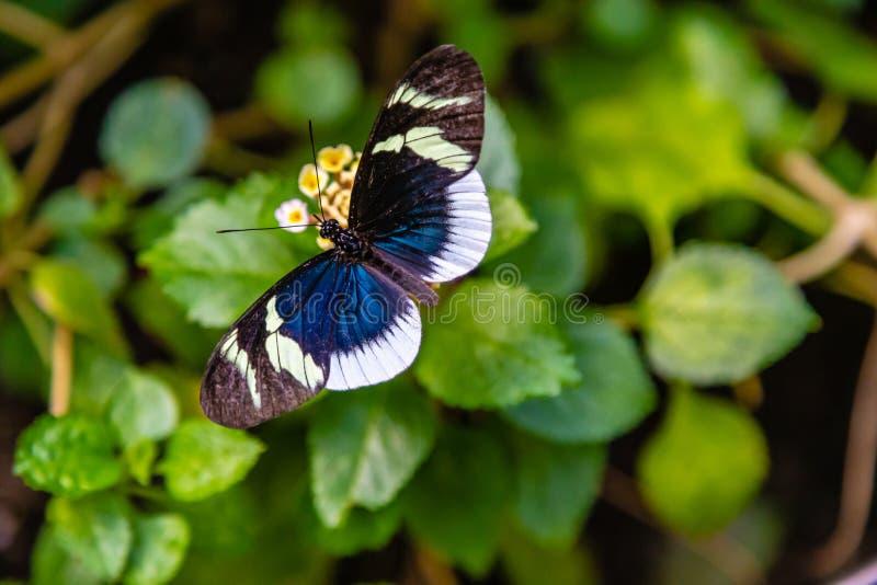 Heliconius eleuchia longwing的eleuchia蝴蝶 库存照片