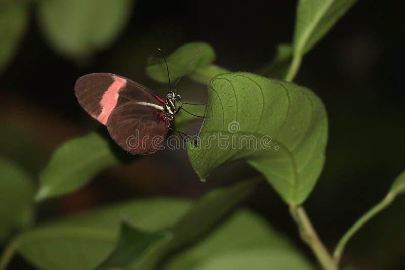 Heliconius erato在叶子的蝴蝶逗留 库存图片