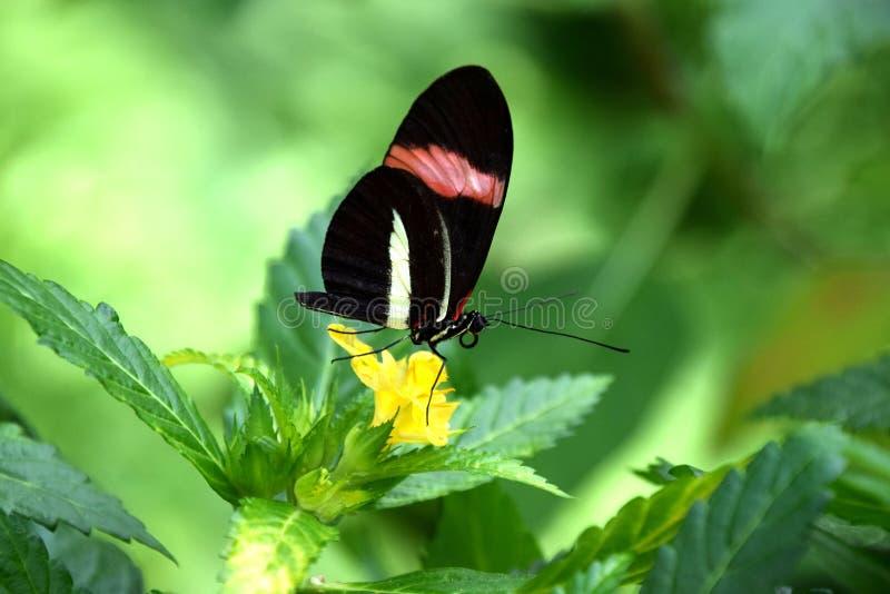 Heliconius eratofjäril, röd brevbärare på den gula tropiska blomman arkivfoton