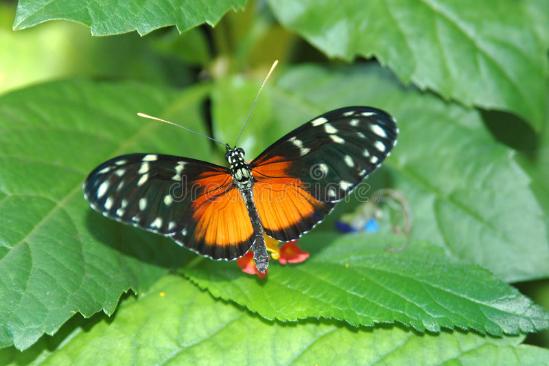 Heliconius hecale on leaves stock photo