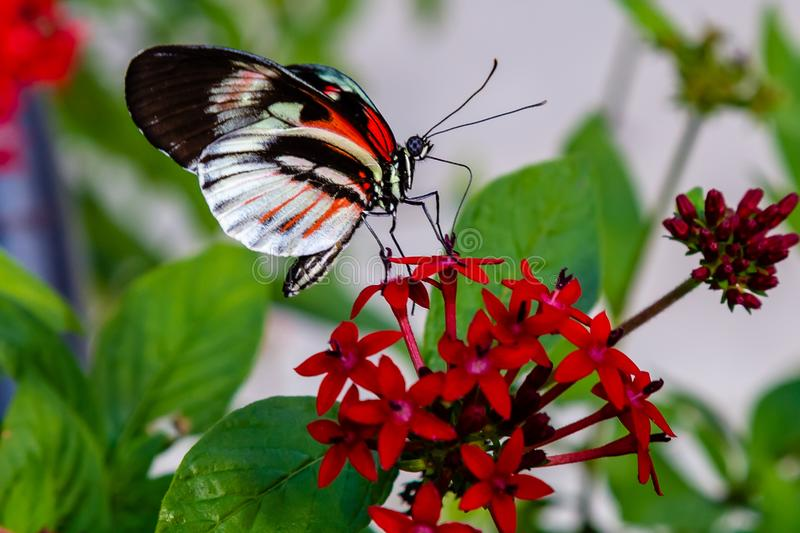Heliconius longwing butterfly feeding on pentas lanceollata royalty free stock photo