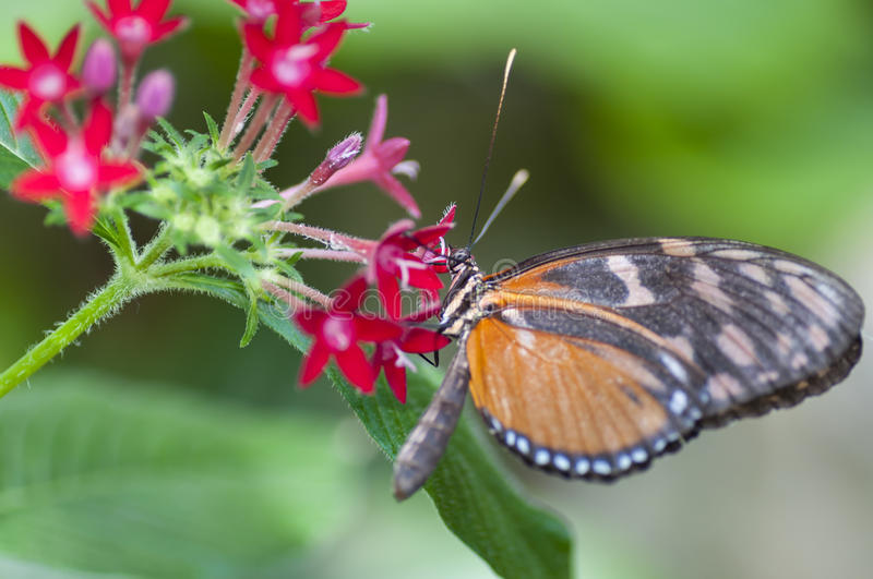 Heliconius melpomene butterfly, eating at a flower royalty free stock image