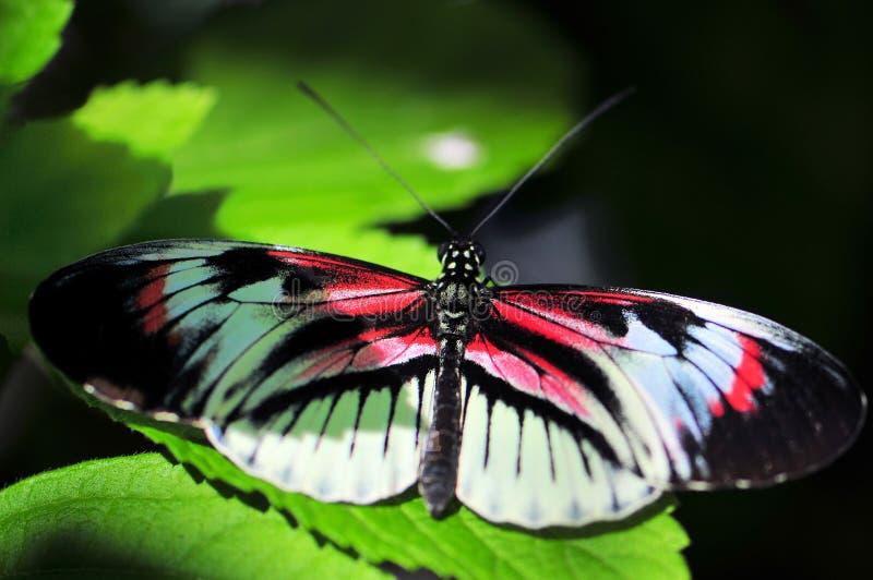 Heliconius, rosso, farfalla longwing in bianco e nero fotografia stock