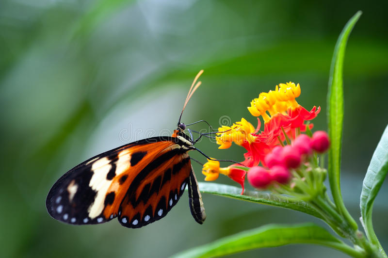 Heliconius xanthocles longwing butterfly royalty free stock photo