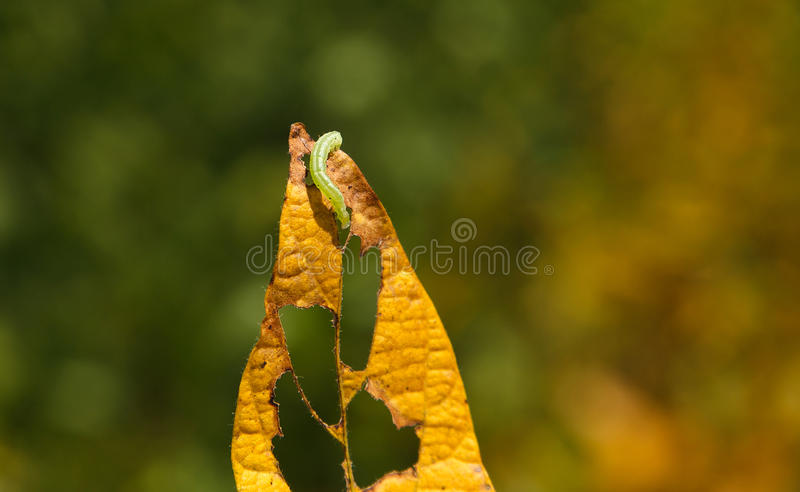 Helicoverpa caterpillar eating leaf in soybean planting. Mato Grosso State - Brazil royalty free stock photo
