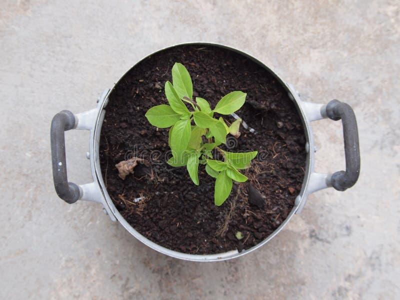 Helig basilikaväxt i krukan royaltyfria foton