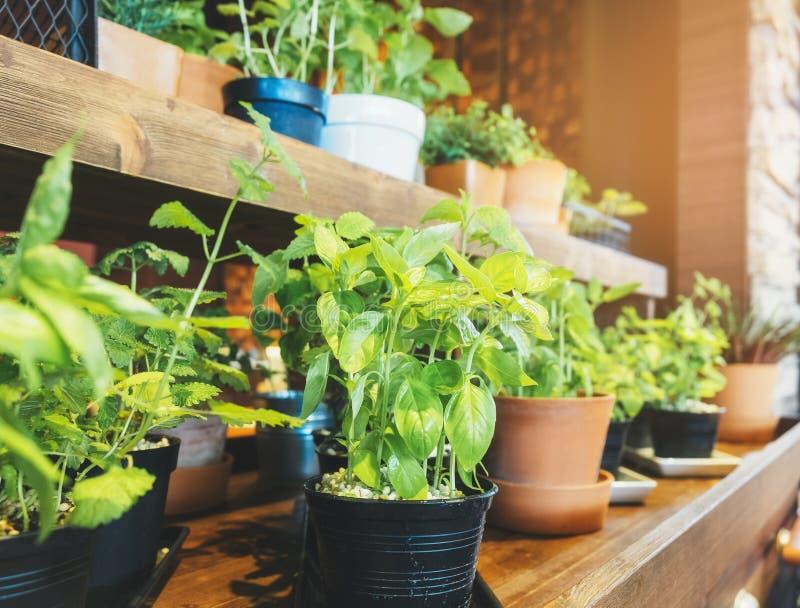 Heliga Basil Herb Plant krukor på trähyllahem arbeta i trädgården royaltyfri fotografi