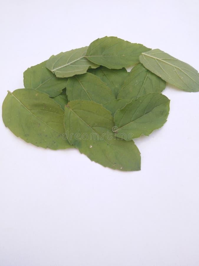 Heliga basilika/tulasi blad bakgrund isolerad white arkivbild