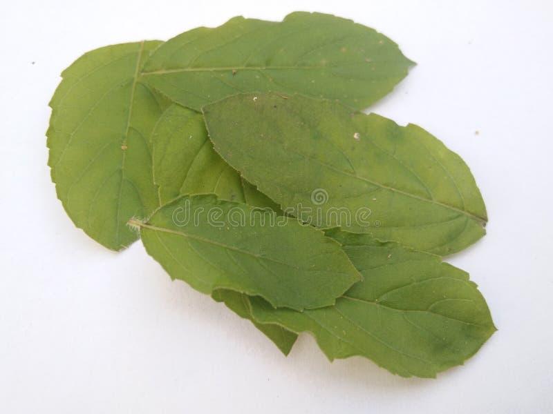 Heliga basilika/tulasi blad bakgrund isolerad white royaltyfri foto