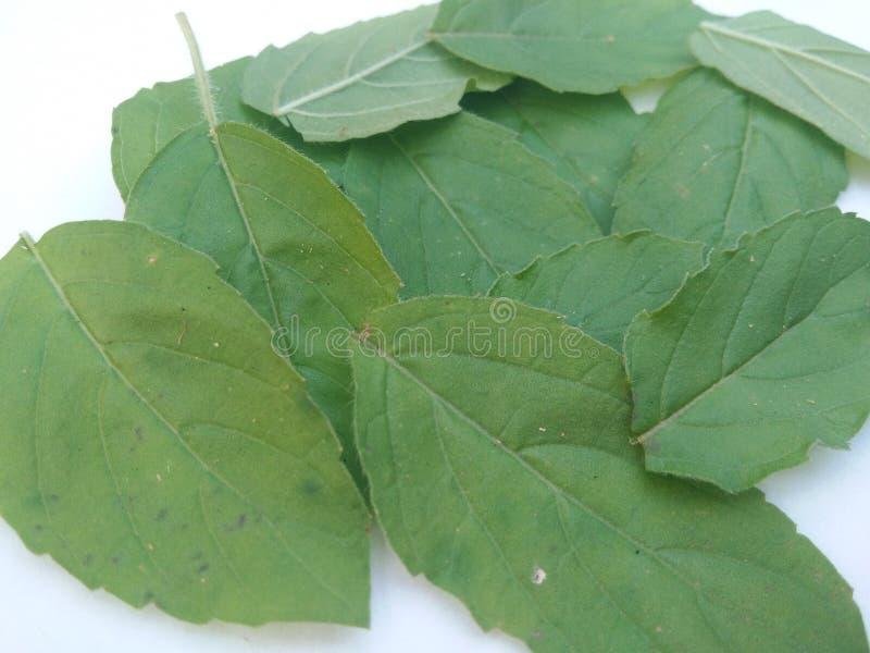 Heliga basilika/tulasi blad bakgrund isolerad white royaltyfria foton
