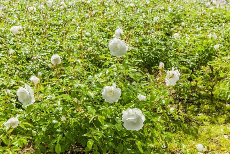Heliga vita rosor i Lourdes royaltyfri foto