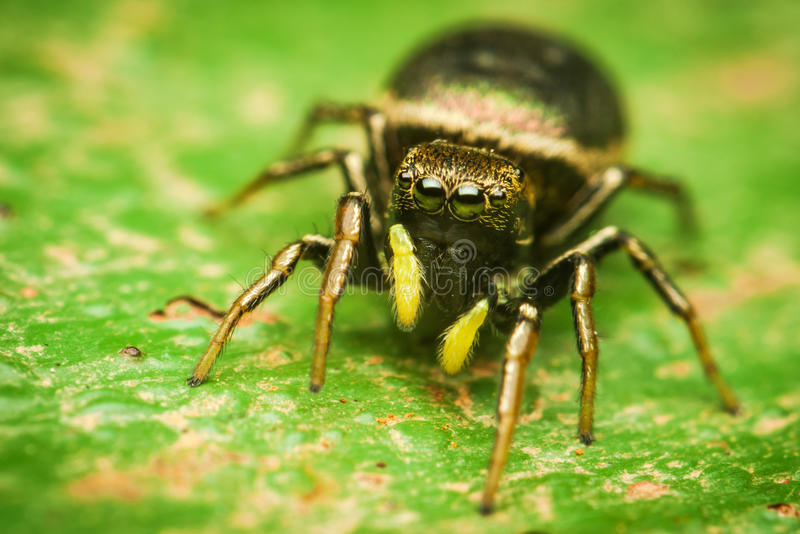 Heliophanus Female Jumping Spider Stock Photo