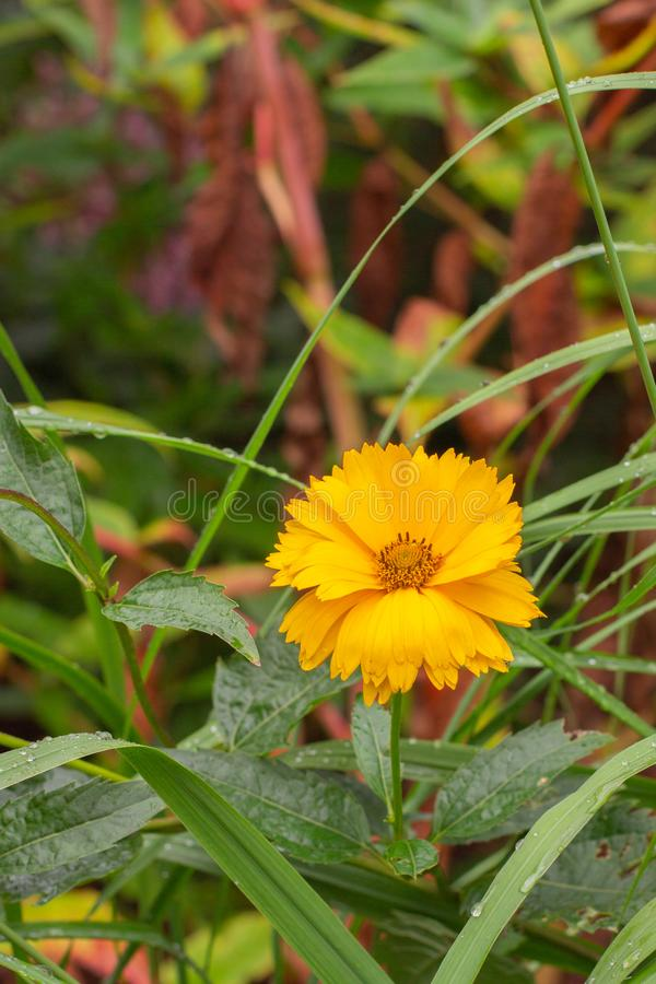 Heliopsis asteraceae blooming yellow orange flower calendula close-up vertical. Heliopsis asteraceae blooming yellow orange flower, fresh natural calendula close stock photos