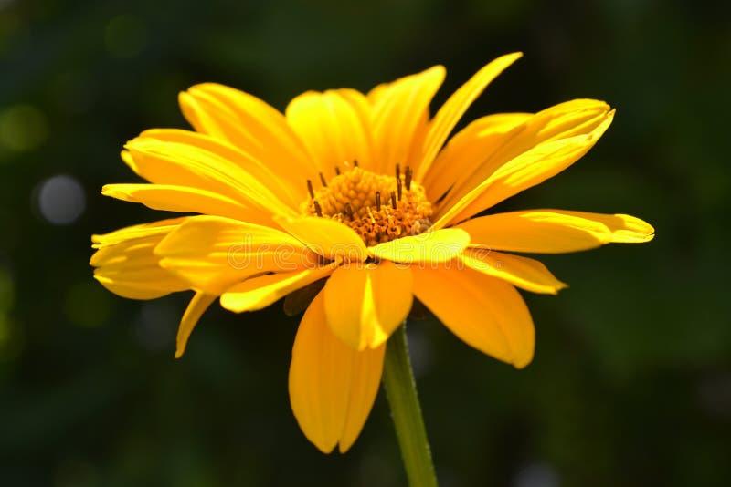 Heliopsis di fioritura giallo nel giorno soleggiato immagini stock