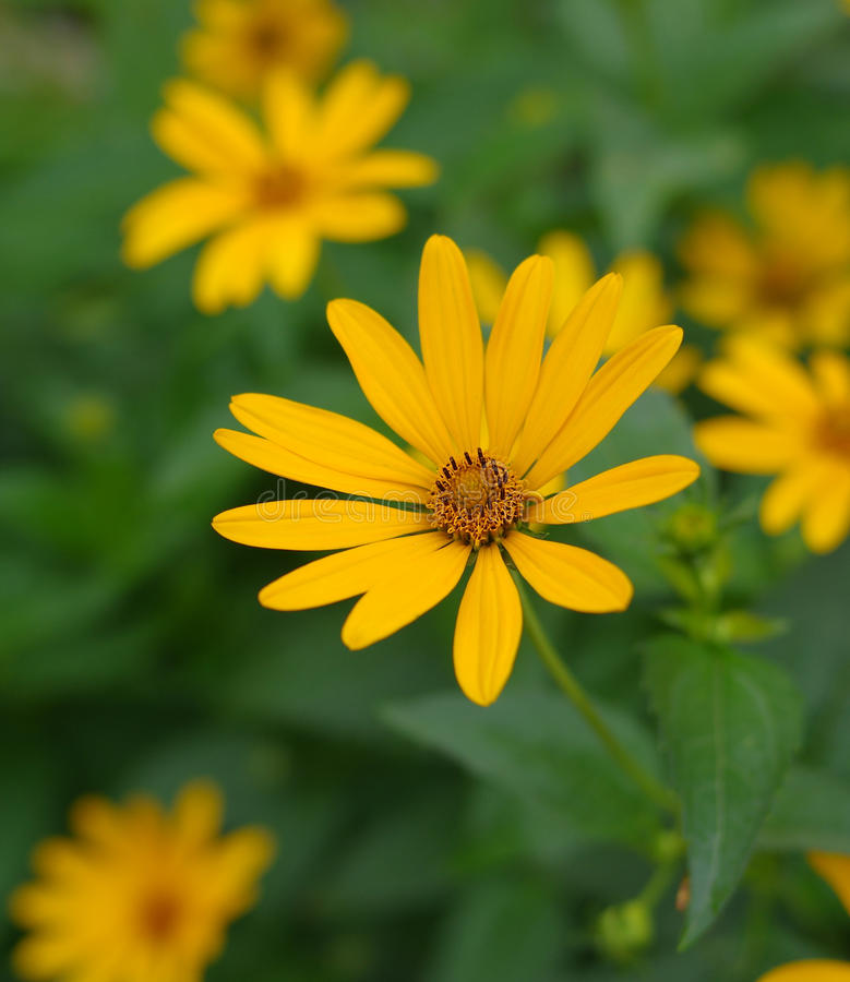 Heliopsis helianthoides flower. Heliopsis helianthoides - Smooth oxeye flower at summer garden royalty free stock photography