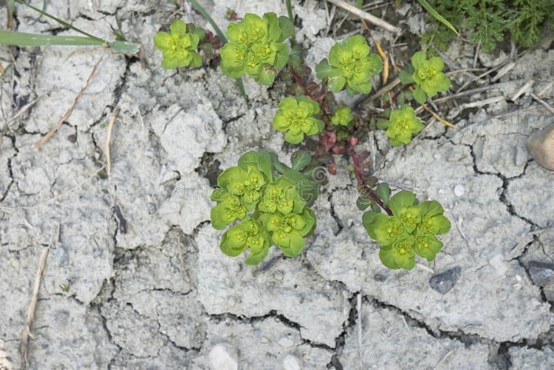Helioscopia do eufórbio na flor fotografia de stock