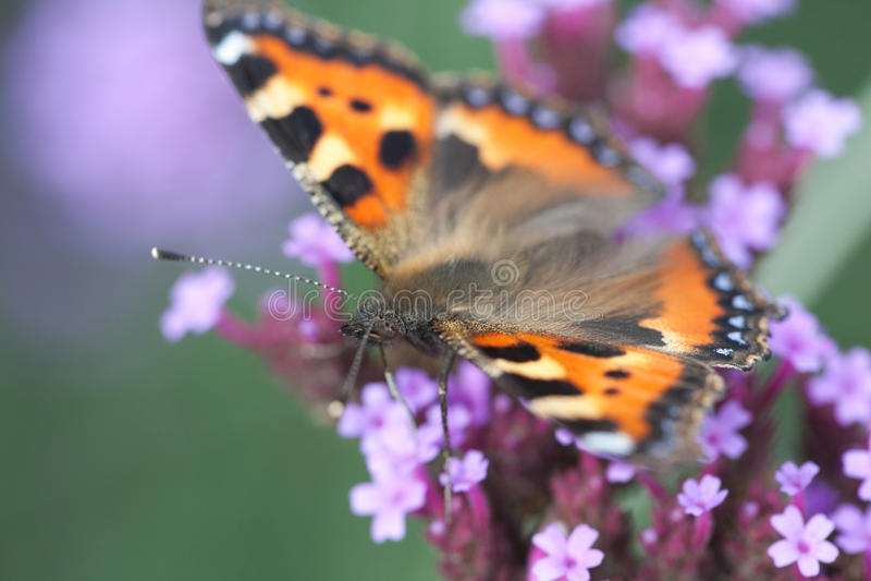 heliotrope цветка бабочки сидит urticaria стоковое фото