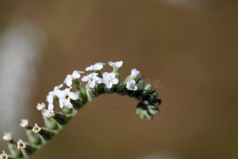 Heliotropium cinerascens 免版税库存照片