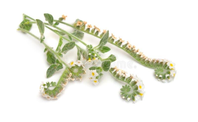 Heliotropium généralement connu sous le nom d'héliotropes D'isolement sur le fond blanc photos stock