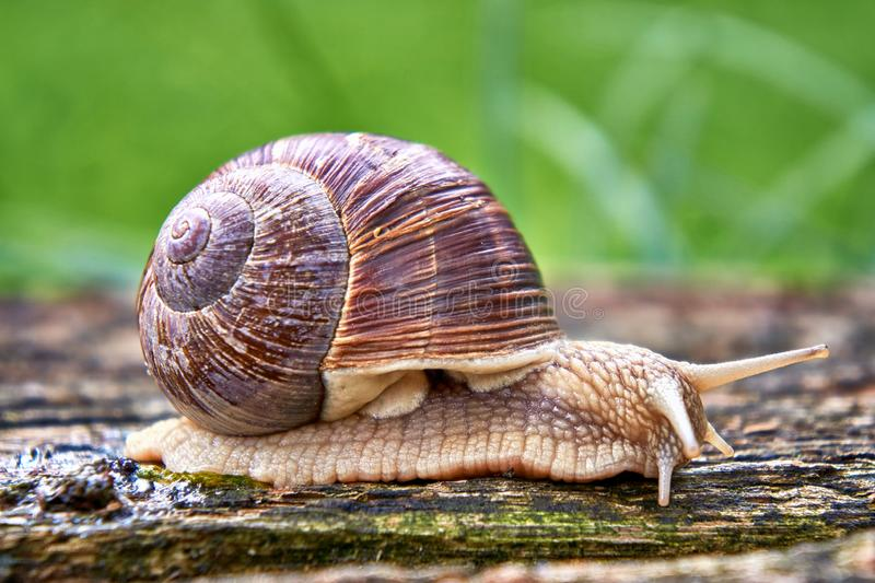 Helix pomatia also Roman snail or burgundy snail is a large air-breathing land snail. Pulmonary Gastropod Mollusk, family. Helicidae, animal, background, brown royalty free stock photos